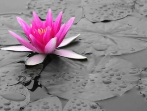 lotus-flower_gray-and-rose